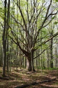 Old oak tree near old farm house foundation