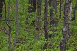 Scarlet Tanager perched on a small limb north of NY 242