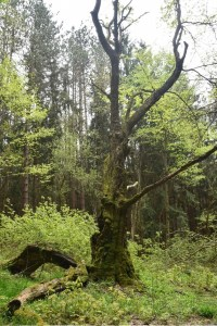 Old gnarled tree east of NY 242
