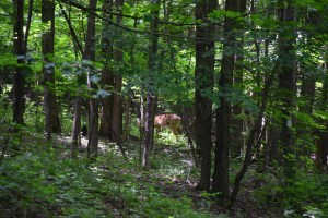 Deer seen through the trees south of Cotter Rd