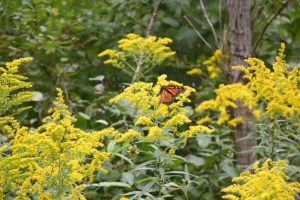 Monarch butterfly on goldenrod off of Breed Run Rd