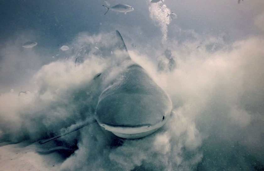 Tips for photographing underwater animals like bull sharks