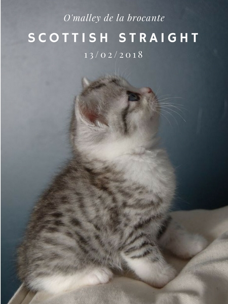 chaton scottish straight