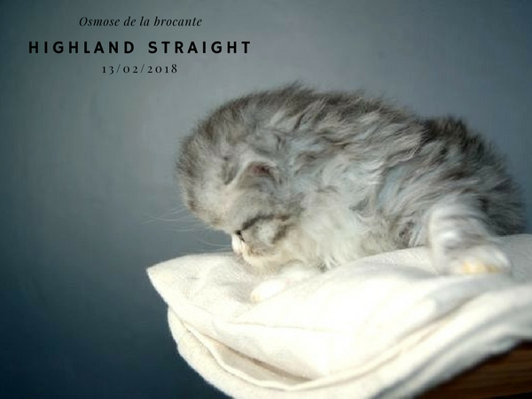 chaton highland Straight