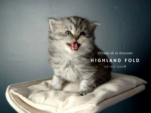 chaton Highland fold male