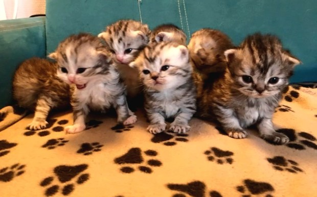 chatons scottish fold