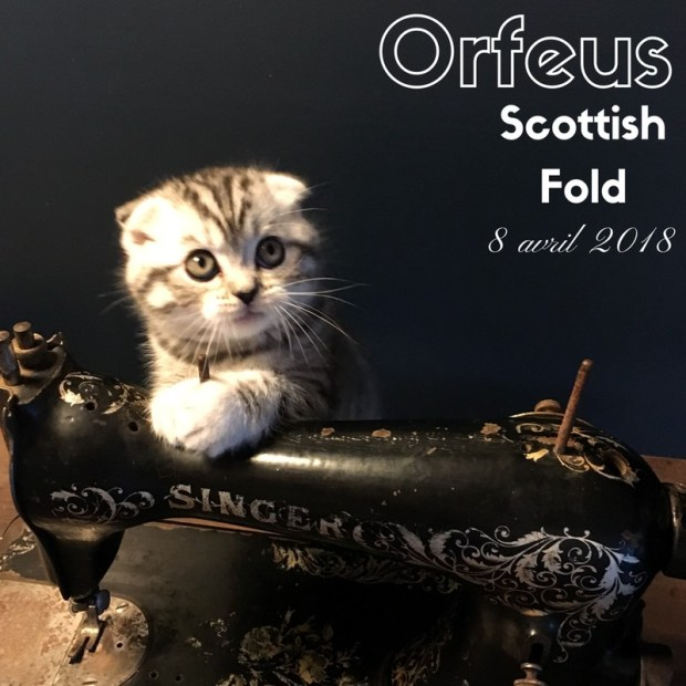 chaton scottish fold orfeus