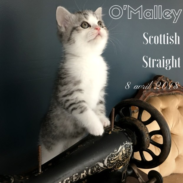 chaton scottishfold omalley