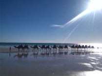 Broome's famous camels