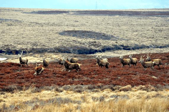 Ullapool Road Deer 3