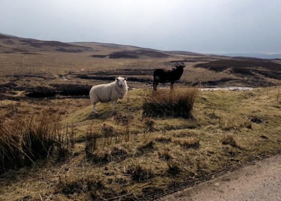 Ullapool Sheep