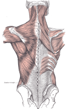 Drawing of back muscles