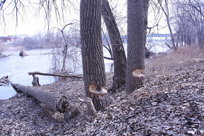 Small picture of trees chewed on by beavers