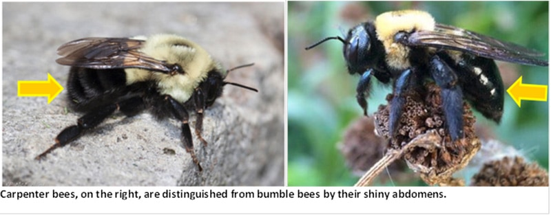 carpenter-bees-vs-bumblebees
