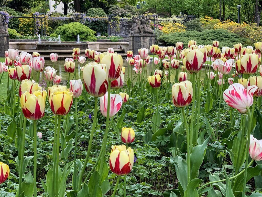 Tulips in bloom at the Rosengarten in Bern Switzerland - Rose Garden