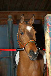 Arabian horse in his stall waiting for treat.
