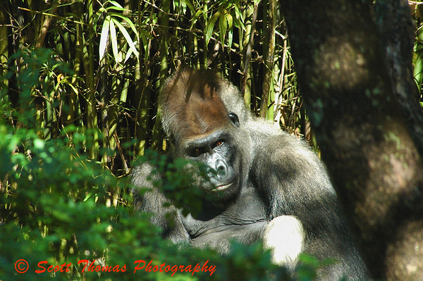 Alpha male gorilla as seen on the Pangani Forest Exploration Trail.