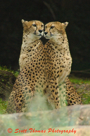 A pair of cheetahs on the Kilimanjaro Safari at 400mm.