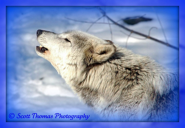 Why are Alaskan Wolves Under Siege?