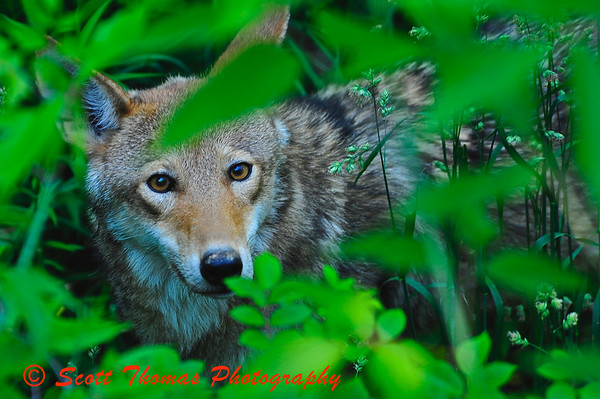 Red Wolf in the Rosamond Gifford Zoo, Burnet Park, Syracuse, New York.