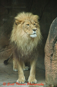 A male African Lion posing during the Sunset Safari at the Rosamond Gifford Zoo in Syracuse, New York.
