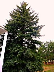 blue spruce