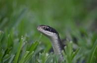 Everglades Racer