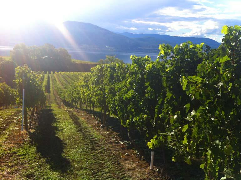 Daydreamer-Merlot-vineyard---2013-copy