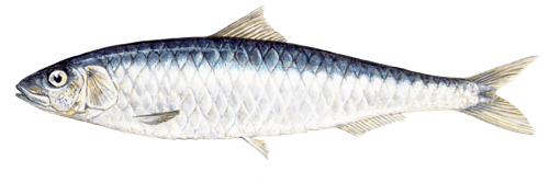 Sardine European-sardina_pilchardus_sw