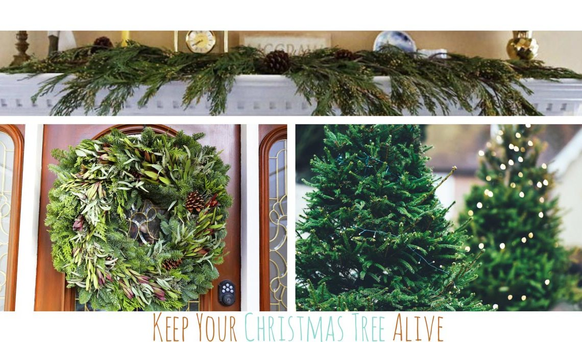 Make Your Live Christmas Tree, Wreaths and Garland Last Longer