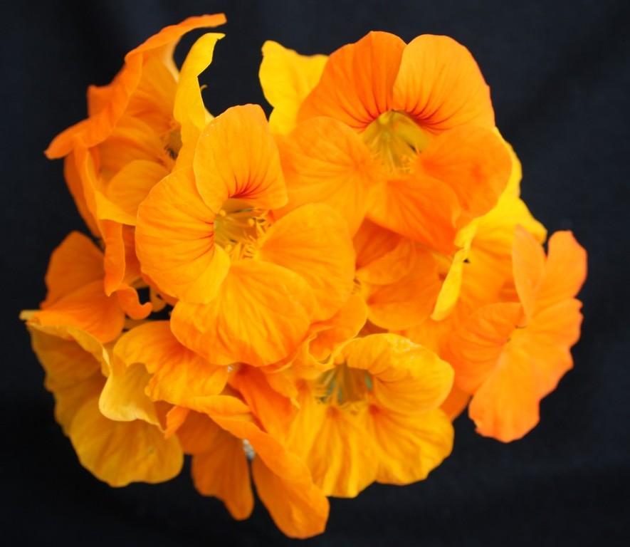 Kappertjie/ Nastartium : Flower power (3/3)