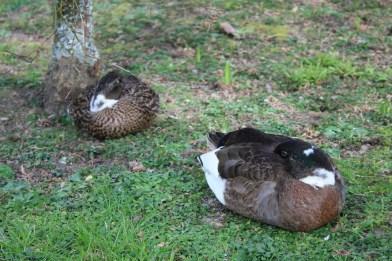 Ducks sleping..