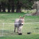 Cleo donkey