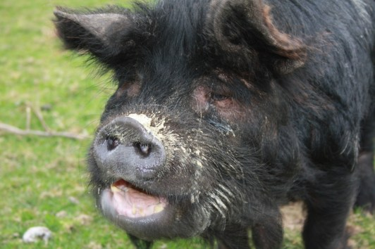Bella pig
