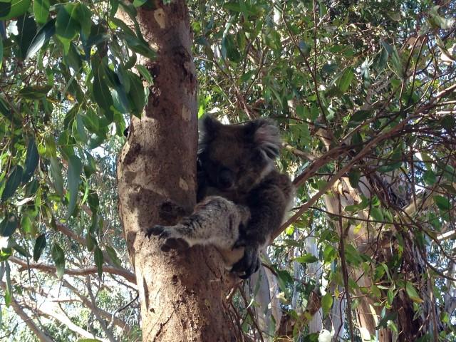 australie koala