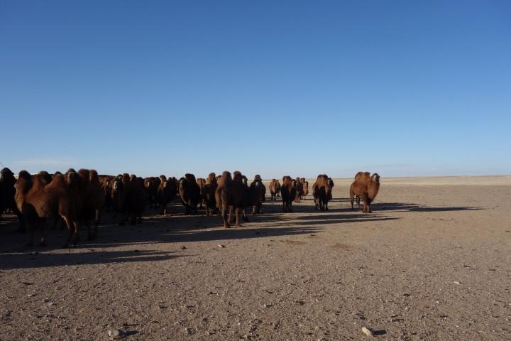 Kamelen Mongolië