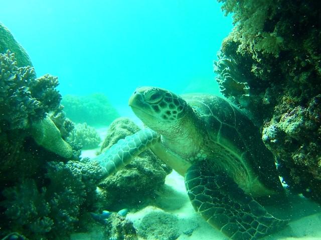 Apo island schildpad 1 (Small)