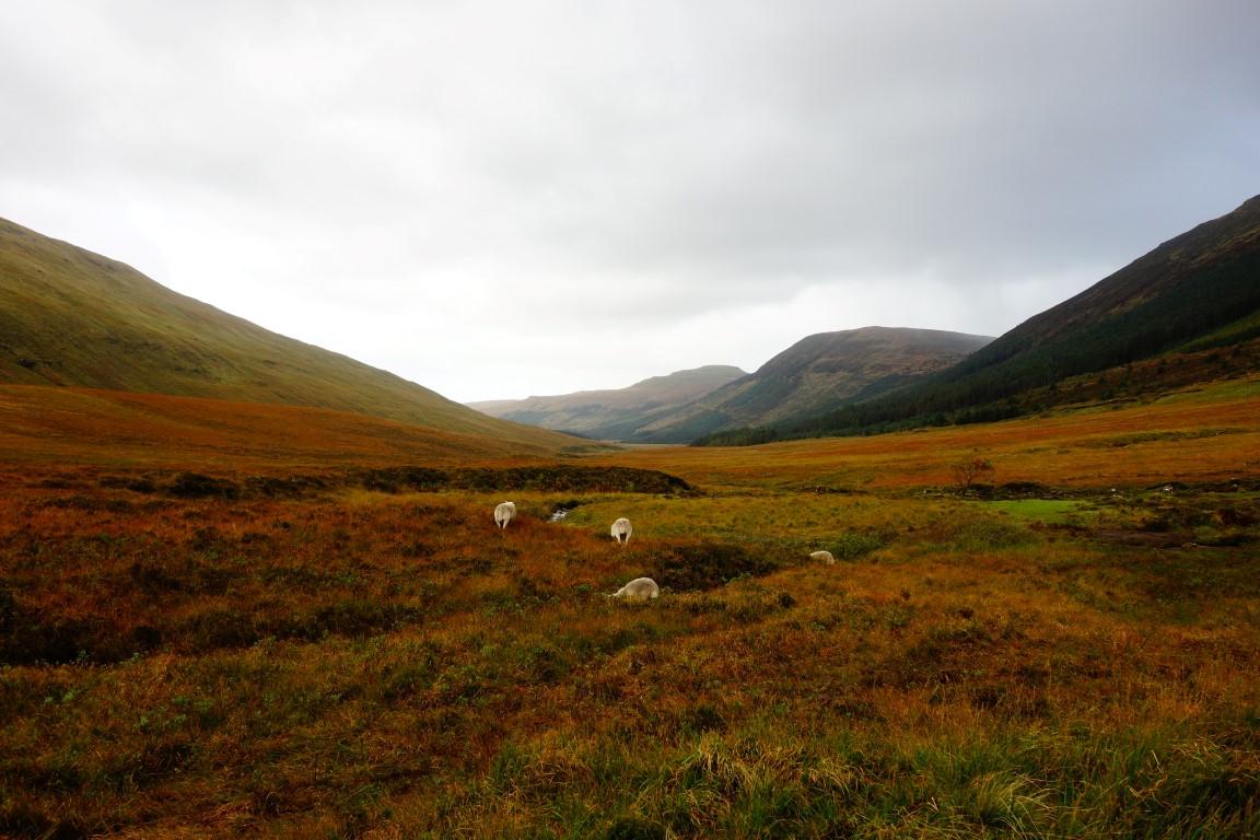 Isle of Skye schapen