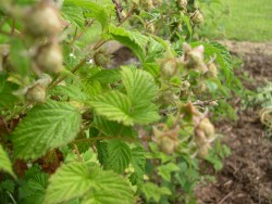 Raspberry fruiting