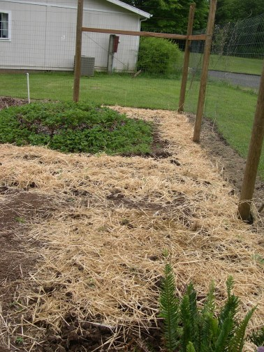 Strawberry bed and tomato beds. I used unused space to plant tomatos. I will tie tomatos to the fence instead of using a tomato trellis.