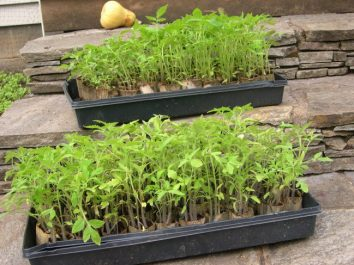 Hundreds of tomato seedlings. I didn't plant eneough last year and now I think I over did it.