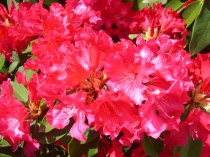 Oregon is known for it's rhododendrons. We have bushes all around the house.
