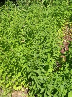 Oregano-Origanum vulgare