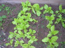 Lettuce Bed outside the Kitchen door.
