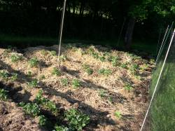 Potatoes are growing like crazy!