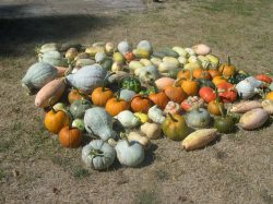 Some of our Pumpkins and Squash