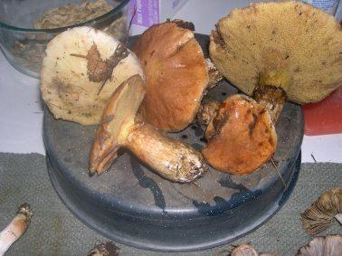 Edible Bolete