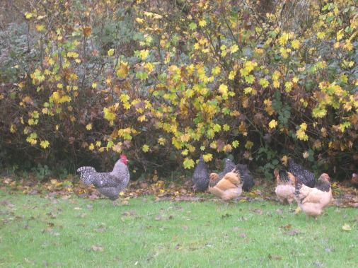 Beautiful Cuckoo Marans Rooster with his hens. Hatched April 2014