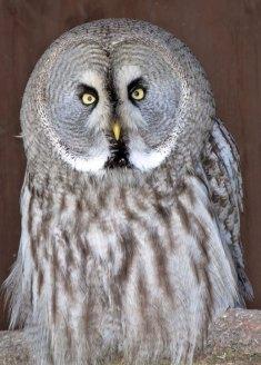 Great Grey owl (Strix nebulosa lapponica)