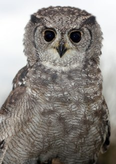Vermiculated Eagle Owl (Bubo cinerascens)